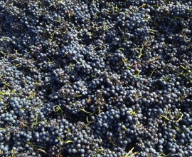 Conception grapes for Winemaking