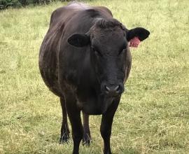 moondarra-cows
